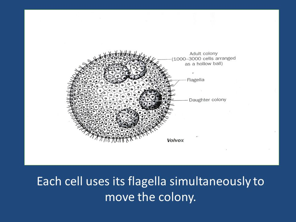 Each cell uses its flagella simultaneously to move the colony.