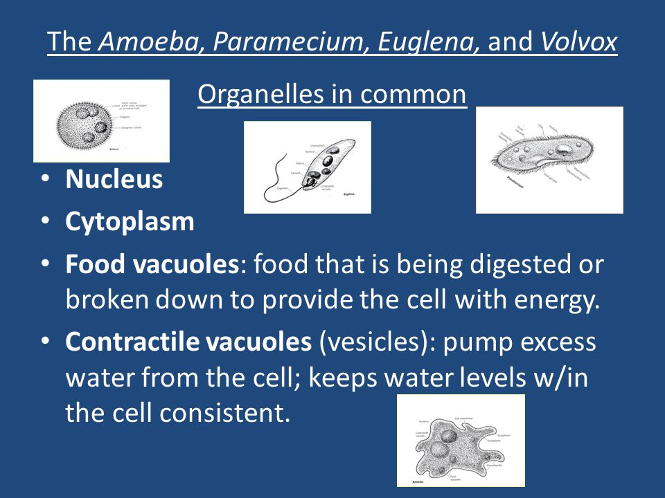 The Amoeba, Paramecium, Euglena, and Volvox