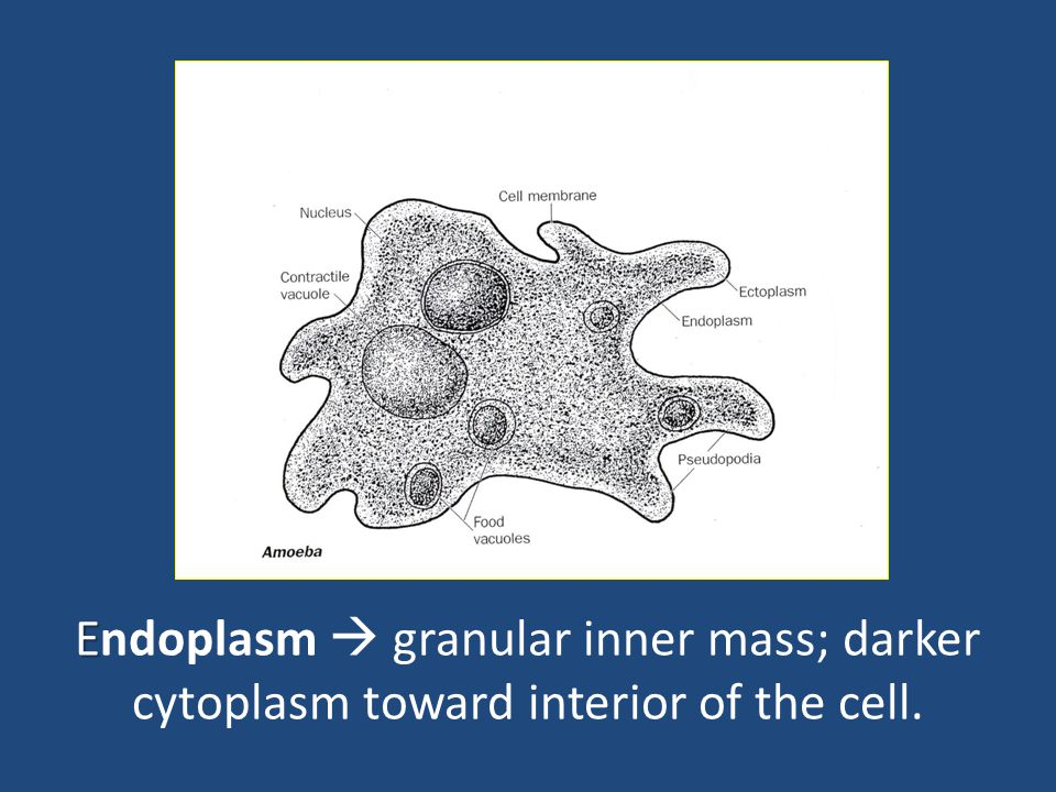 Endoplasm  granular inner mass; darker cytoplasm toward interior of the cell.