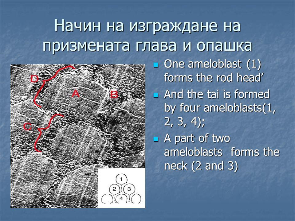 Начин на изграждане на призмената глава и опашка