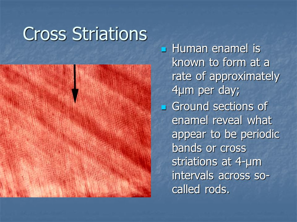 Cross Striations Human enamel is known to form at a rate of approximately 4µm per day;