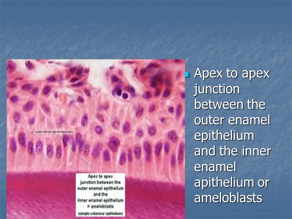 Apex to apex junction between the outer enamel epithelium and the inner enamel apithelium or ameloblasts