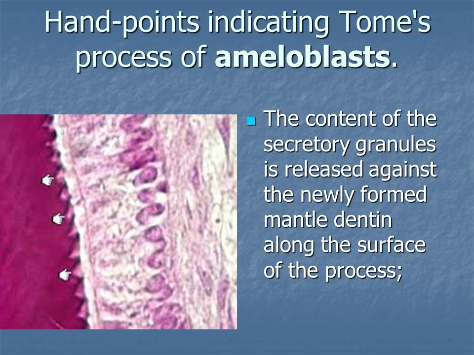Hand-points indicating Tome s process of ameloblasts.