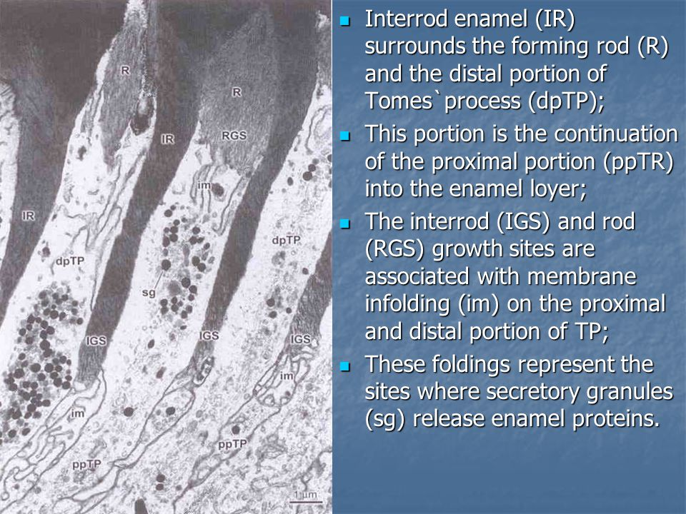 Interrod enamel (IR) surrounds the forming rod (R) and the distal portion of Tomes`process (dpTP);