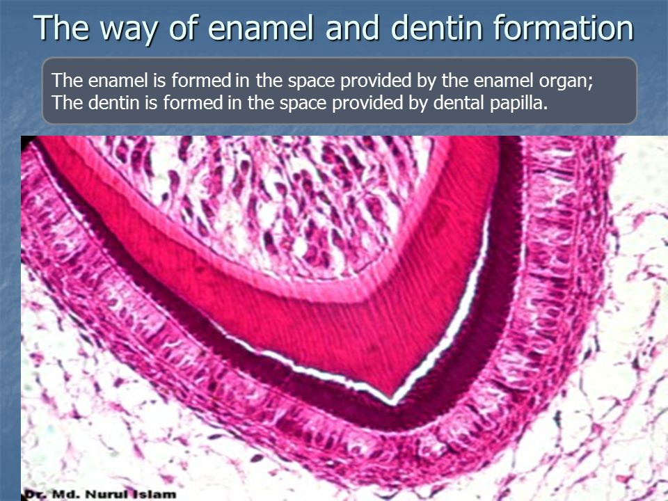 The way of enamel and dentin formation