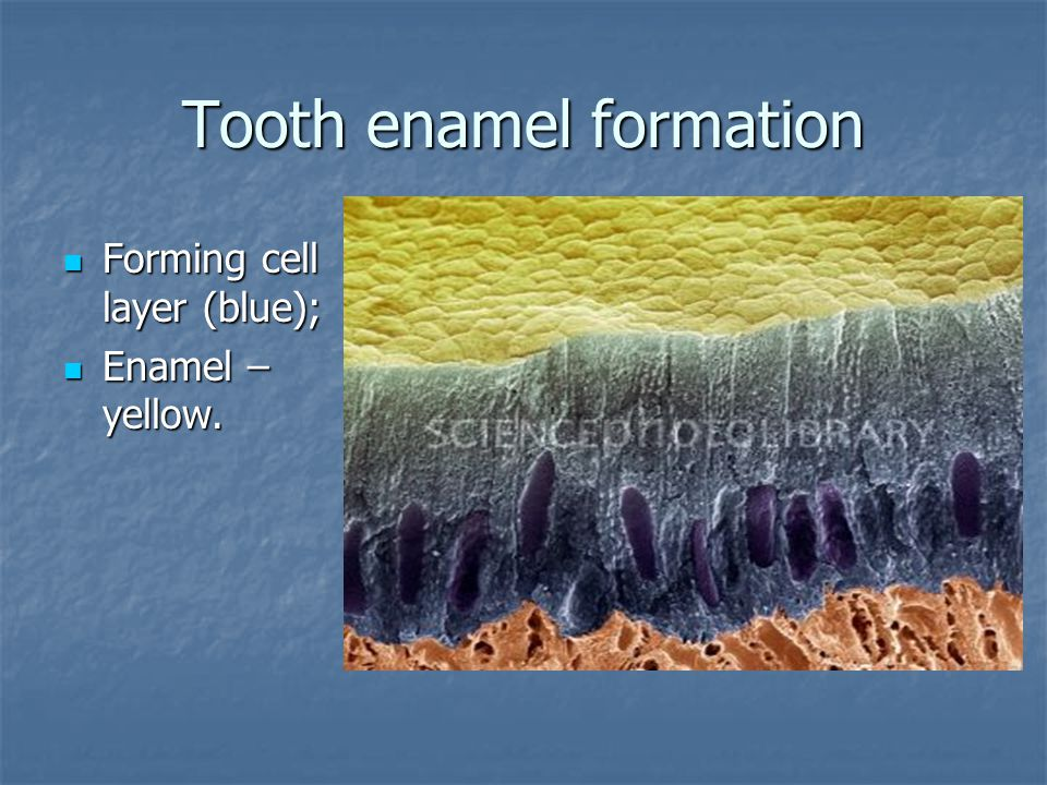 Tooth enamel formation