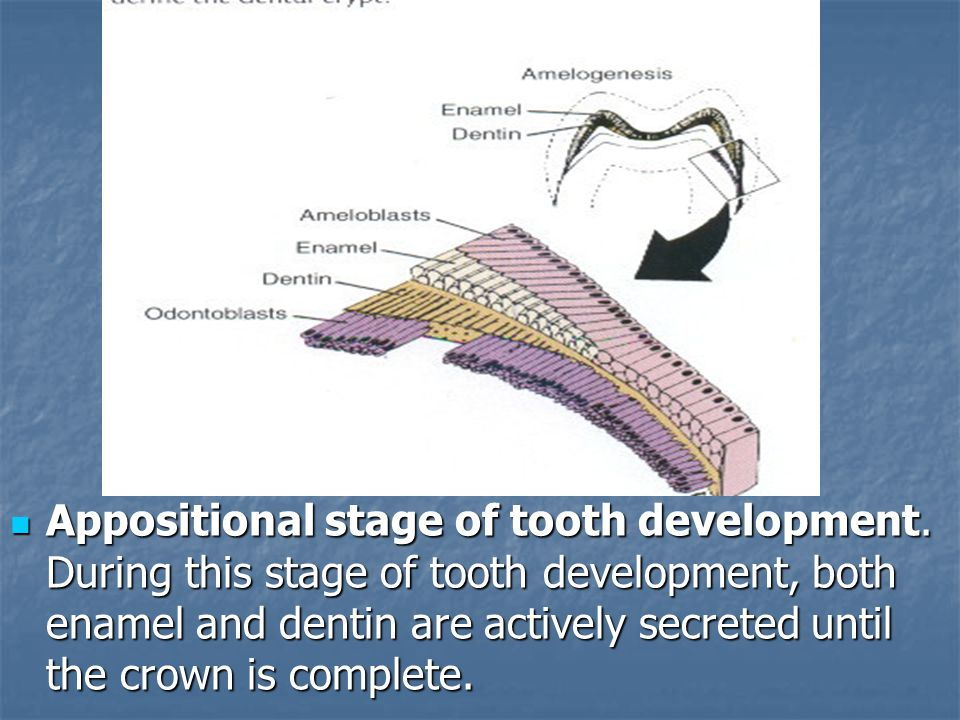 Appositional stage of tooth development