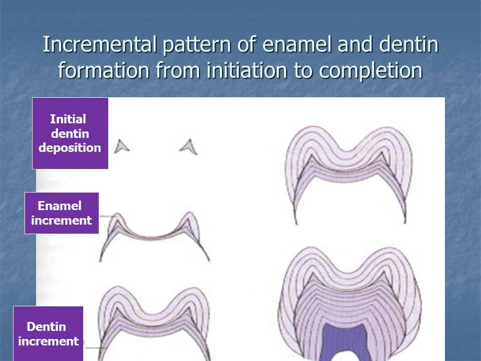 Incremental pattern of enamel and dentin formation from initiation to completion