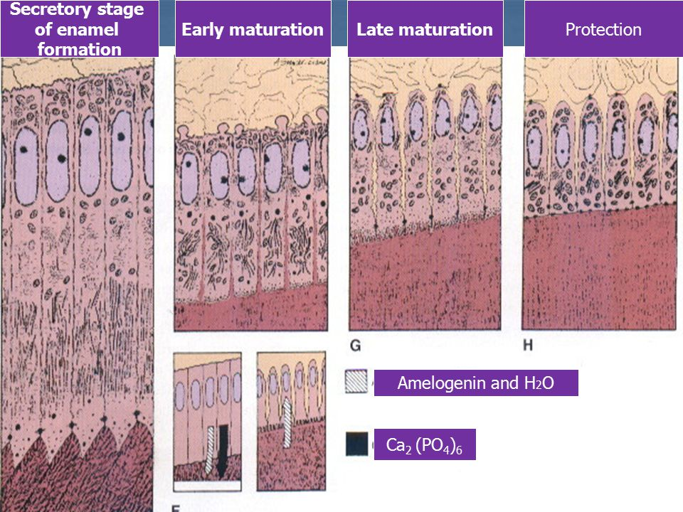 Secretory stage of enamel. formation. Early maturation. Late maturation. Protection. Amelogenin and H2O.