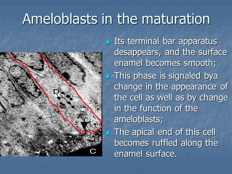 Ameloblasts in the maturation