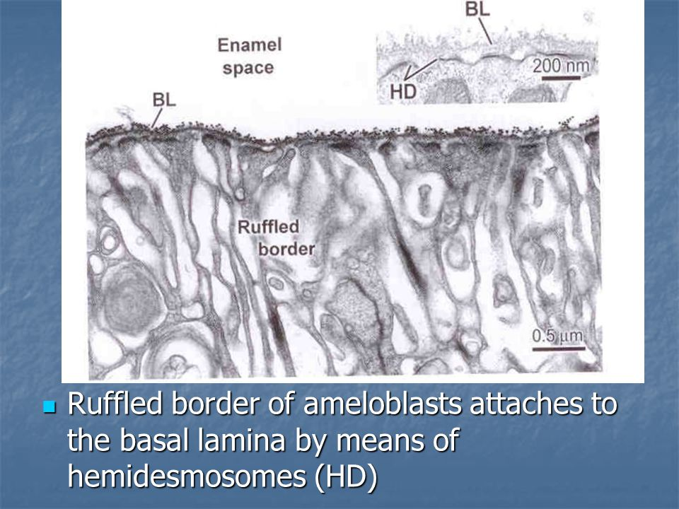 Ruffled border of ameloblasts attaches to the basal lamina by means of hemidesmosomes (HD)