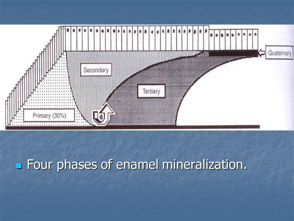 Four phases of enamel mineralization.