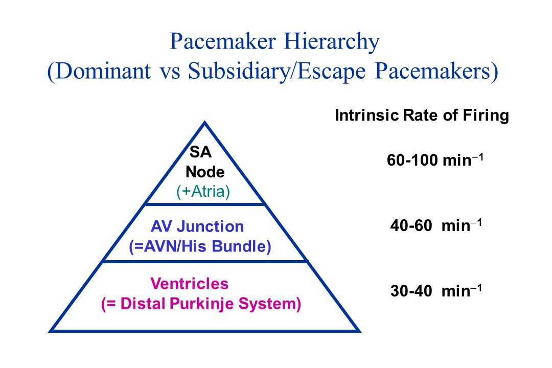 (Dominant vs Subsidiary/Escape Pacemakers)
