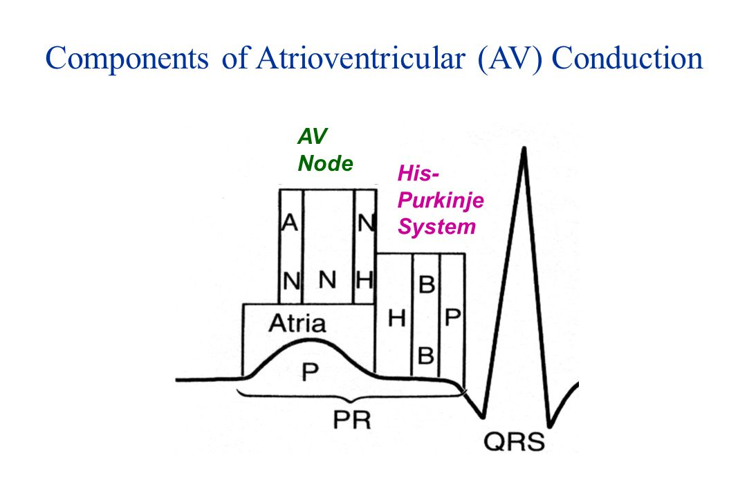 Components of Atrioventricular (AV) Conduction