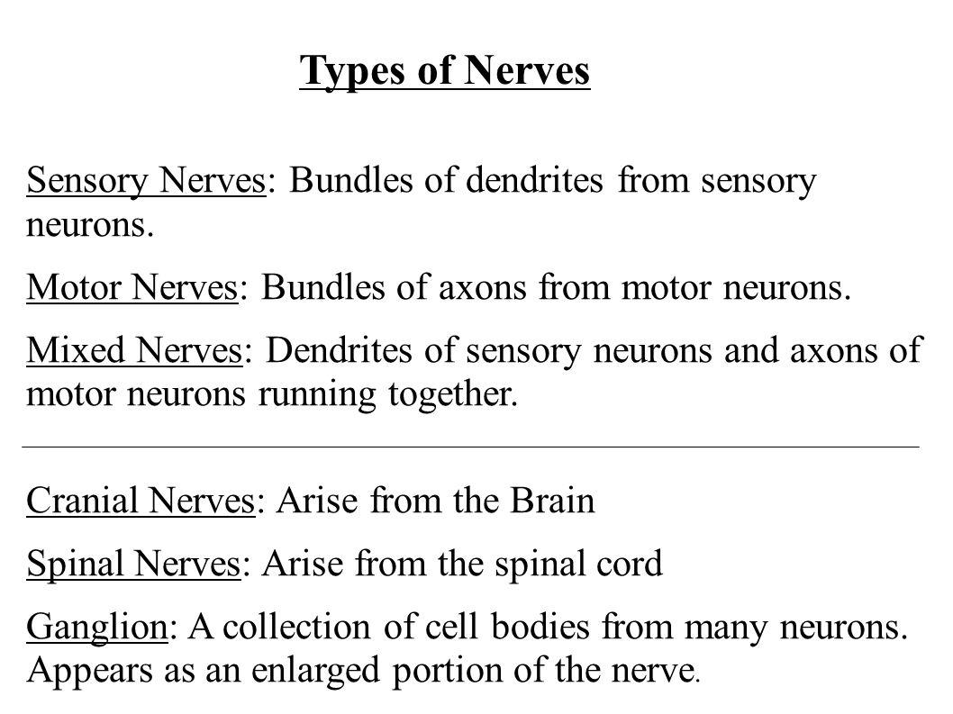 Types of Nerves Sensory Nerves: Bundles of dendrites from sensory neurons. Motor Nerves: Bundles of axons from motor neurons.