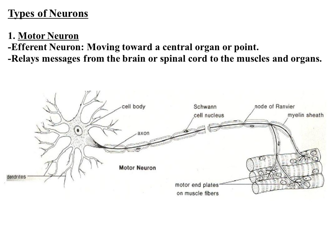 Types of Neurons 1. Motor Neuron