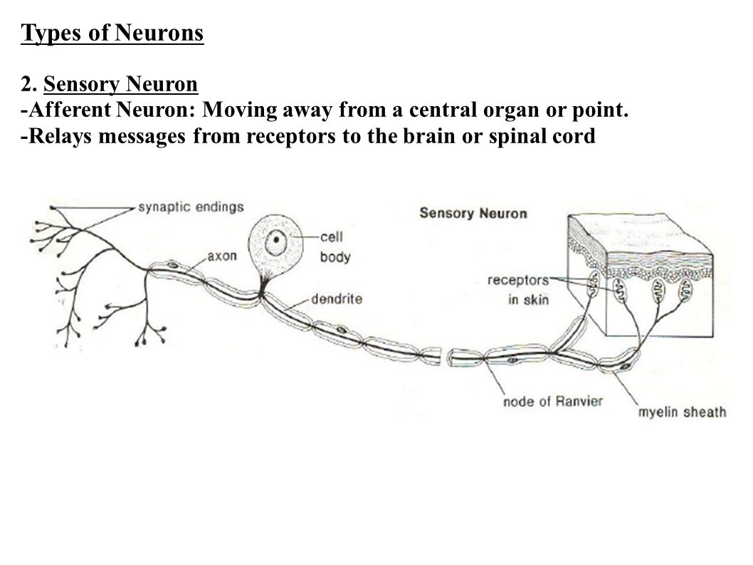 Types of Neurons 2. Sensory Neuron