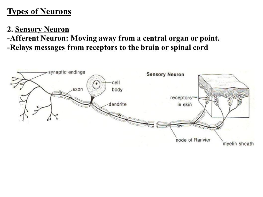 Types of Neurons 2. Sensory Neuron