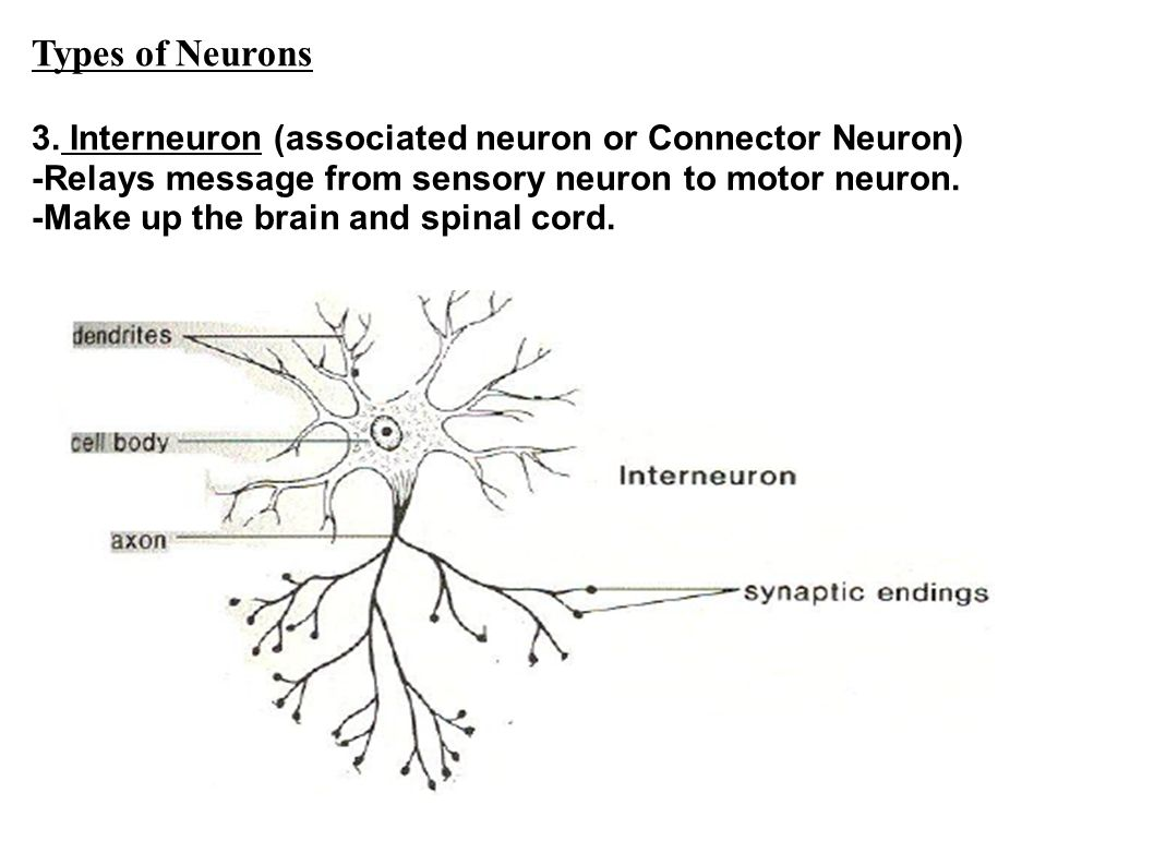 Types of Neurons 3. Interneuron (associated neuron or Connector Neuron) -Relays message from sensory neuron to motor neuron.