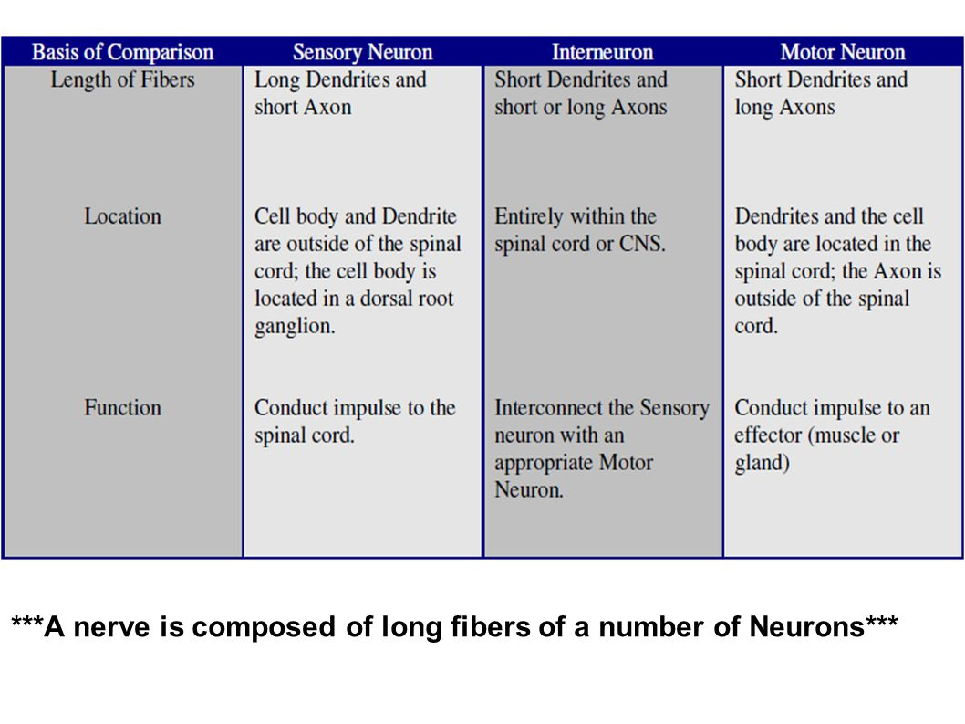 ***A nerve is composed of long fibers of a number of Neurons***