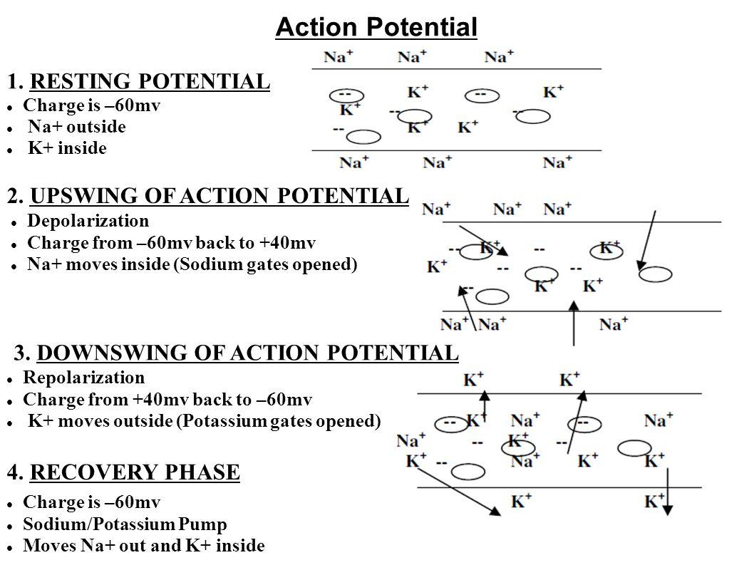 Action Potential 1. RESTING POTENTIAL 2. UPSWING OF ACTION POTENTIAL