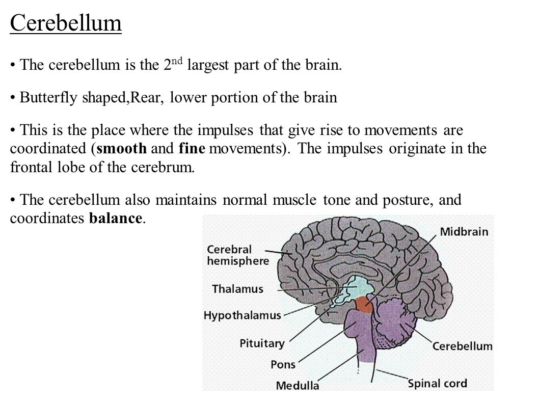 Cerebellum • The cerebellum is the 2nd largest part of the brain.