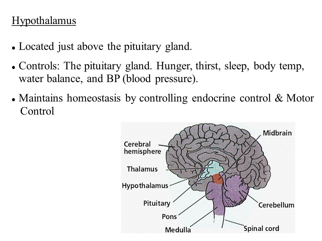 Hypothalamus Located just above the pituitary gland.