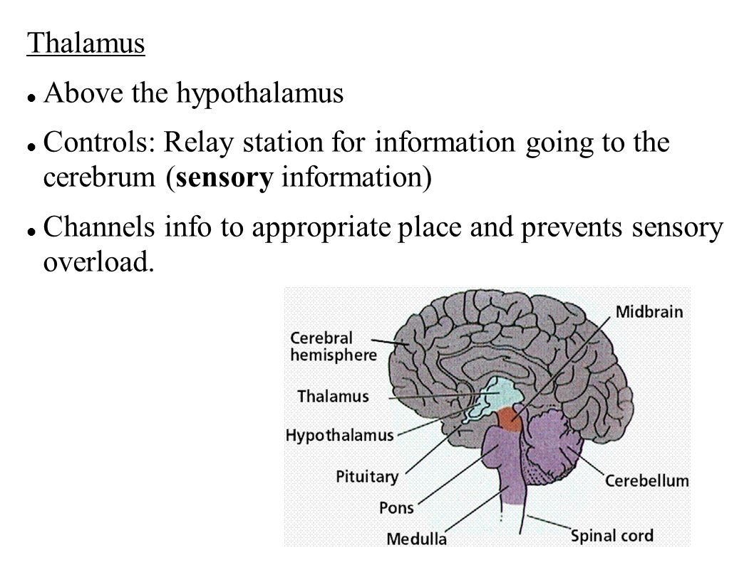 Thalamus Above the hypothalamus. Controls: Relay station for information going to the cerebrum (sensory information)