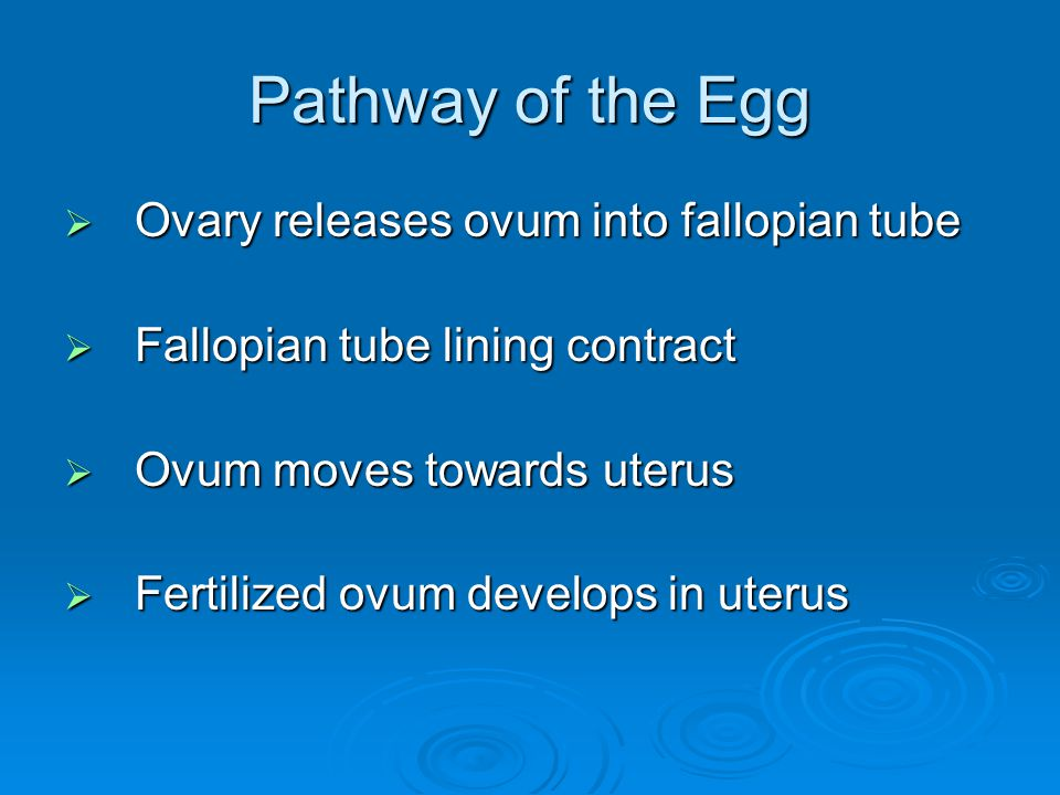 Pathway of the Egg Ovary releases ovum into fallopian tube