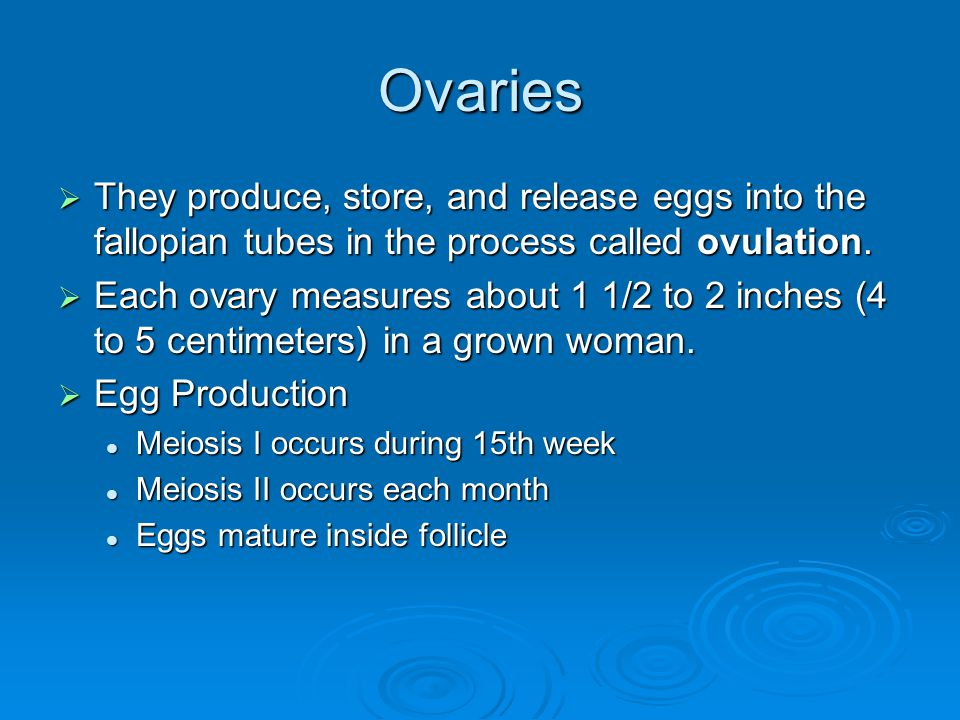 Ovaries They produce, store, and release eggs into the fallopian tubes in the process called ovulation.