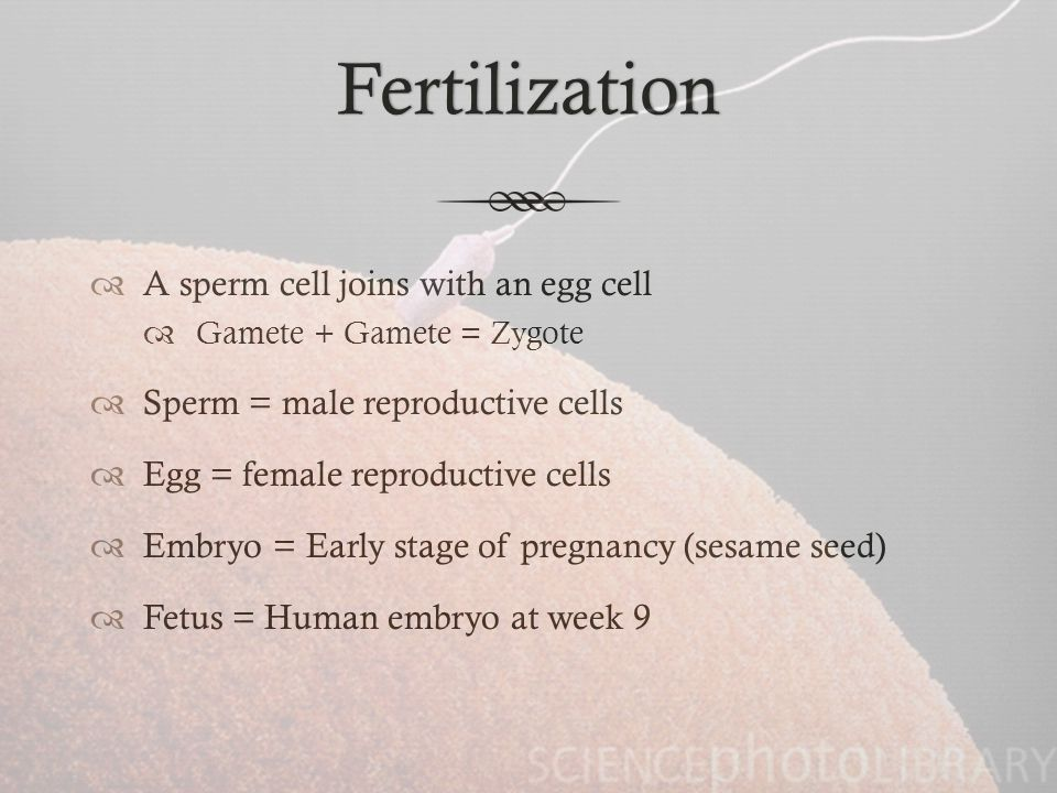 Fertilization A sperm cell joins with an egg cell