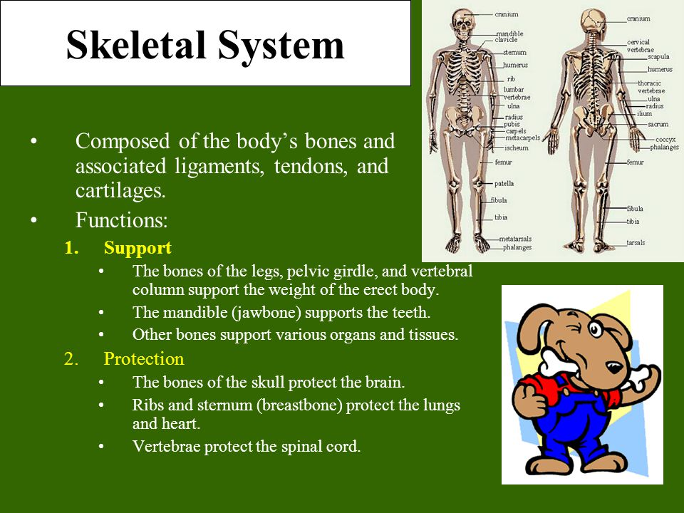 Skeletal System Composed of the body's bones and associated ligaments, tendons, and cartilages. Functions: