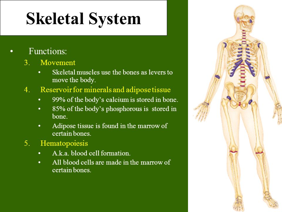 Skeletal System Functions: Movement