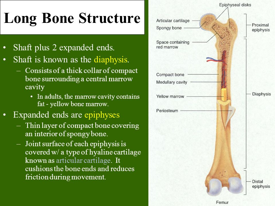 Long Bone Structure Shaft plus 2 expanded ends.