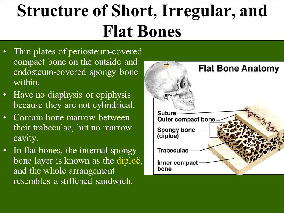 Structure of Short, Irregular, and Flat Bones