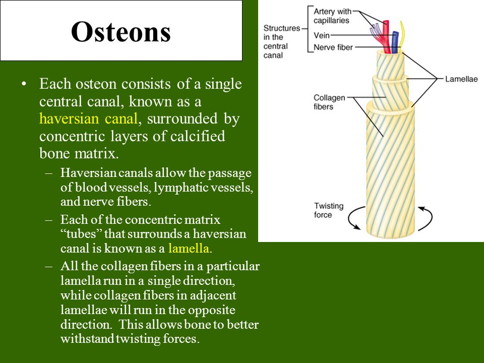Osteons Each osteon consists of a single central canal, known as a haversian canal, surrounded by concentric layers of calcified bone matrix.