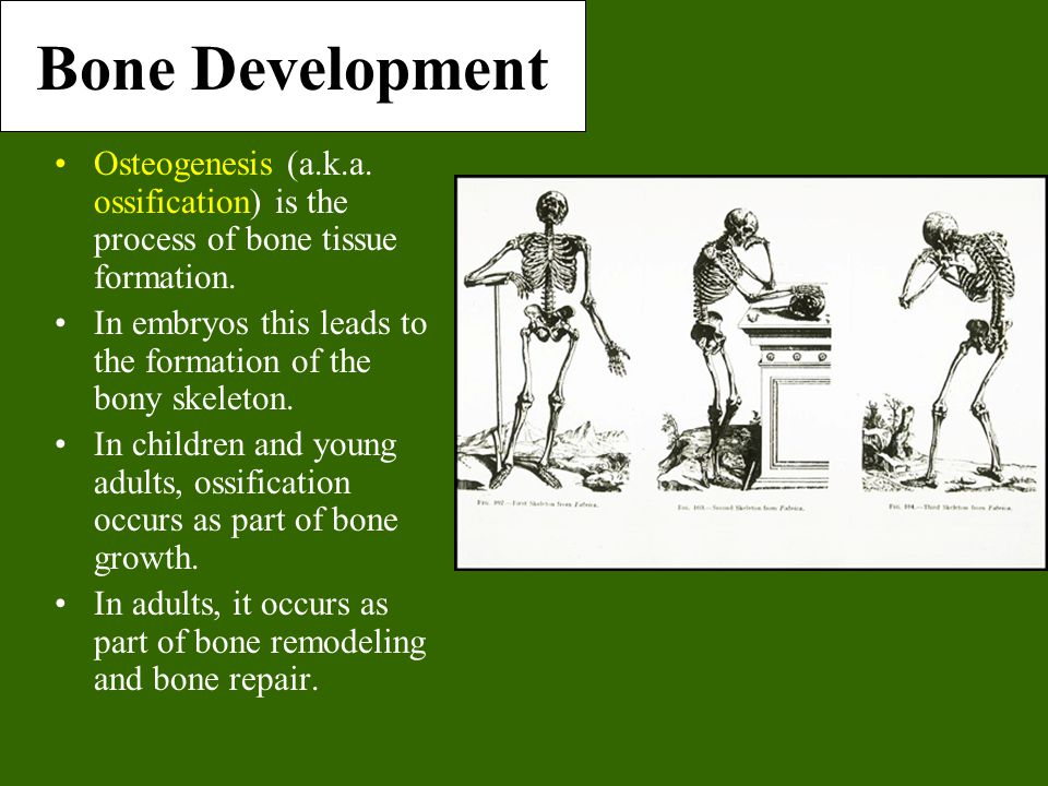 Bone Development Osteogenesis (a.k.a. ossification) is the process of bone tissue formation.