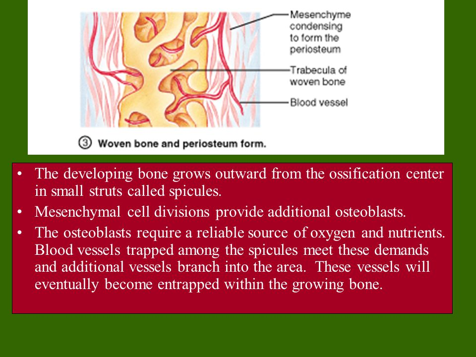 The developing bone grows outward from the ossification center in small struts called spicules.