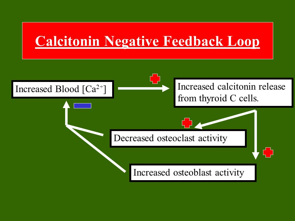 Calcitonin Negative Feedback Loop