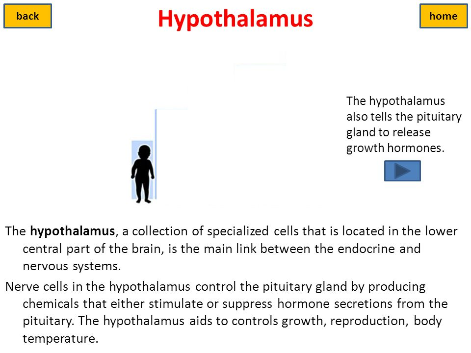 Hypothalamus back. home. The hypothalamus also tells the pituitary gland to release growth hormones.