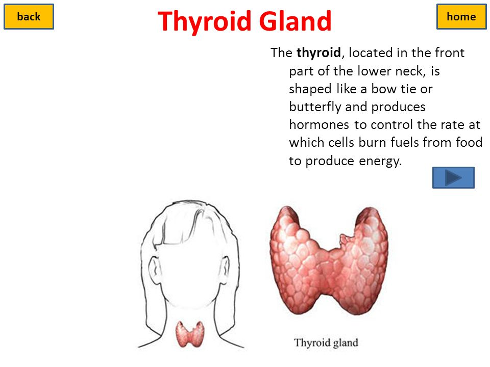 Thyroid Gland back. home.