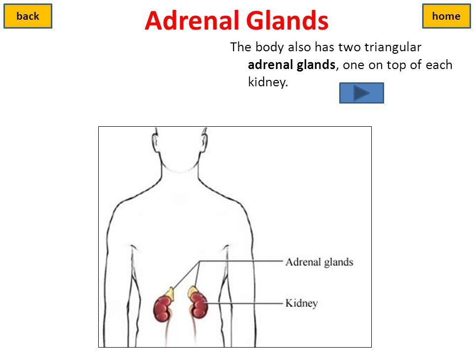 Adrenal Glands back. home.