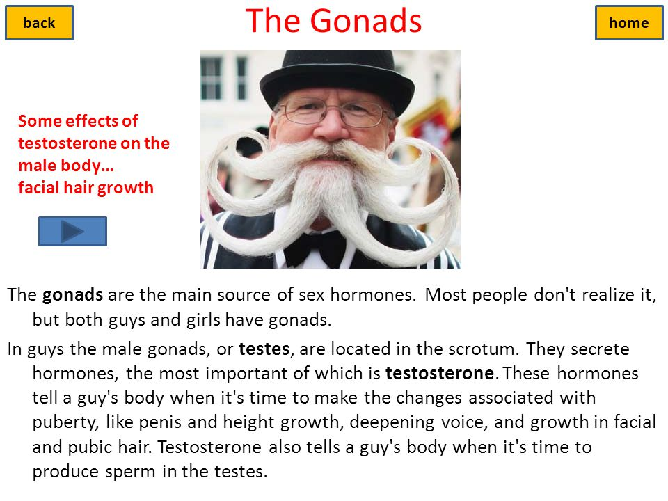 The Gonads back. home. Some effects of testosterone on the male body… facial hair growth.