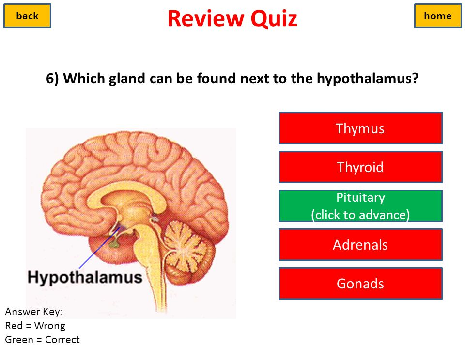 6) Which gland can be found next to the hypothalamus