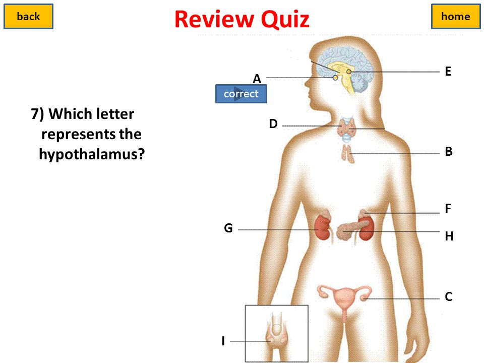 7) Which letter represents the hypothalamus