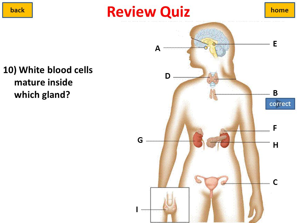 Review Quiz 10) White blood cells mature inside which gland E A D B F