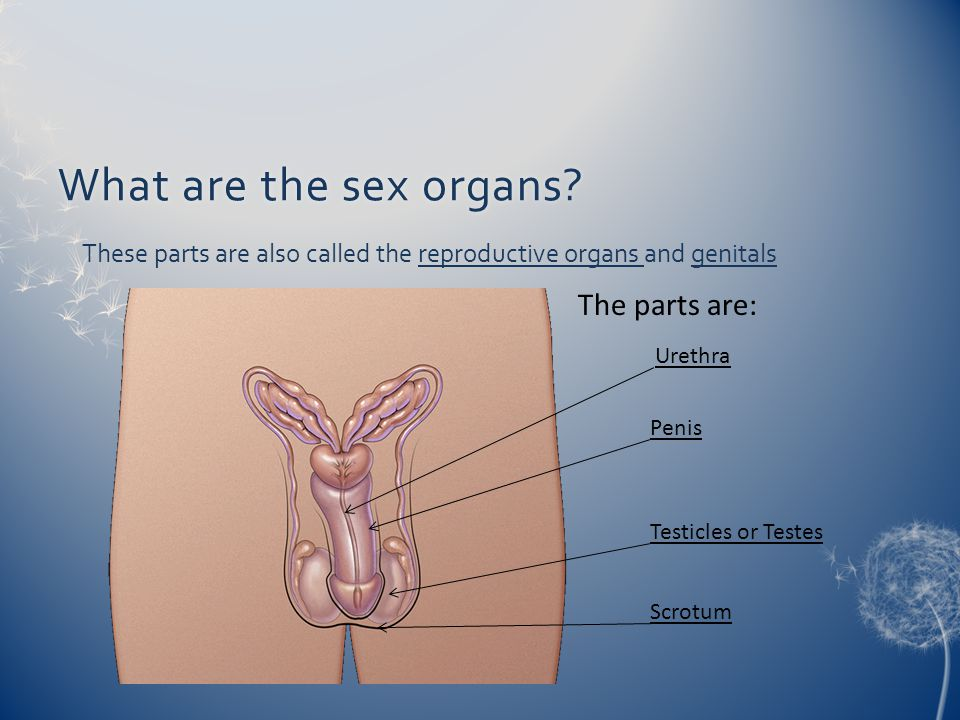 What are the sex organs The parts are: