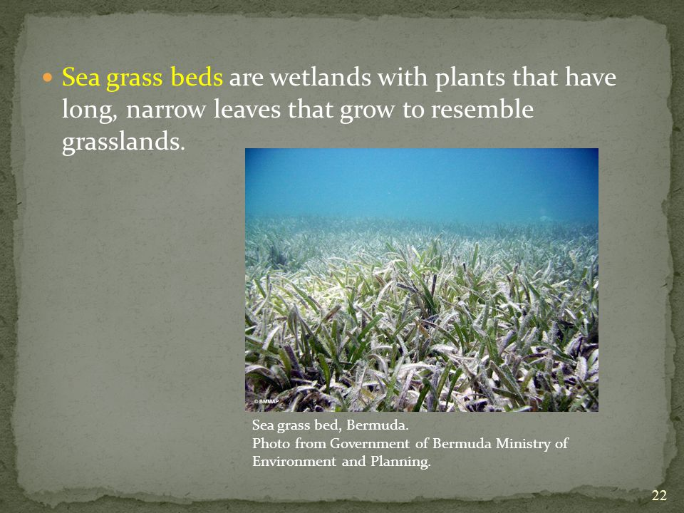 Sea grass beds are wetlands with plants that have long, narrow leaves that grow to resemble grasslands.
