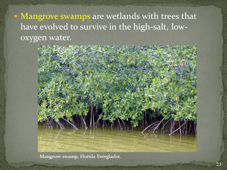 Mangrove swamps are wetlands with trees that have evolved to survive in the high-salt, low- oxygen water.