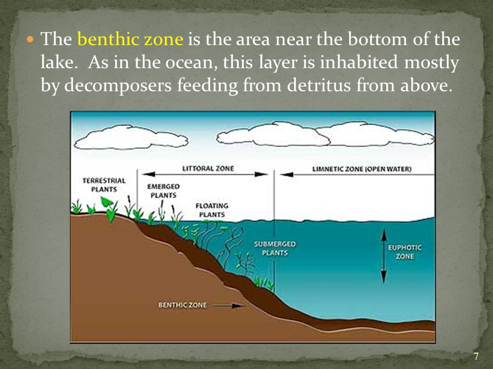 The benthic zone is the area near the bottom of the lake